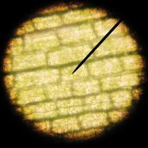 Elodea leaf 400x - D. Gentile & N. Henry