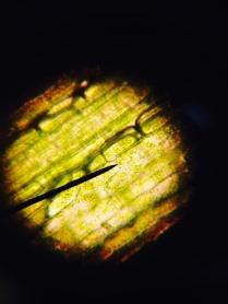 Elodea leaf 400x - E. Vardanyan