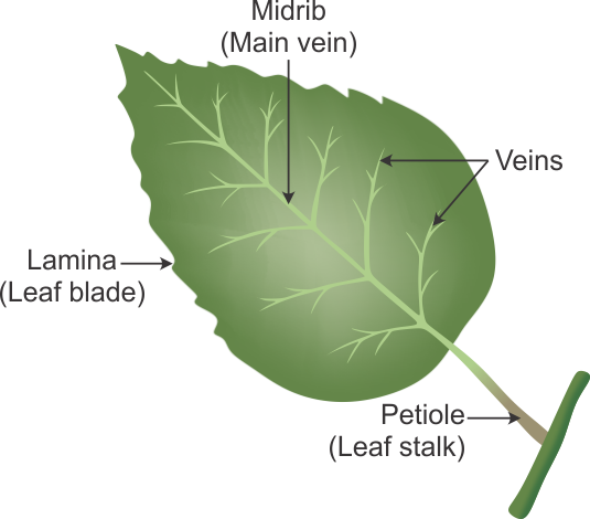 leaf-diagram