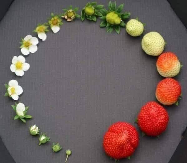 strawberry-life-cycle