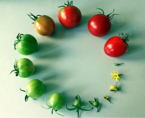 tomato-life-cycle